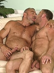Two lascivious bears swallow eachothers dicks and rub eachothers hairy chests